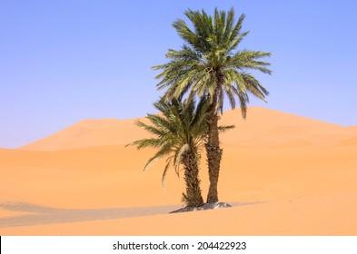 Palm tree in Sahara desert