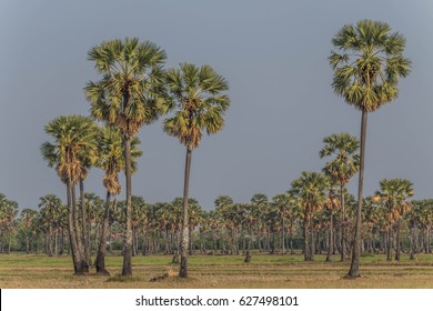 The palm tree is the same tree as the palm and coconut trees are common fruit species in all regions. Beneficial in many ways, such as sweet brown sugar, fresh fruit to make eye candy.