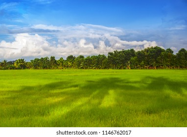 Palm tree shadows reach across a lush, green rice field in Trat, eastern Thailand
