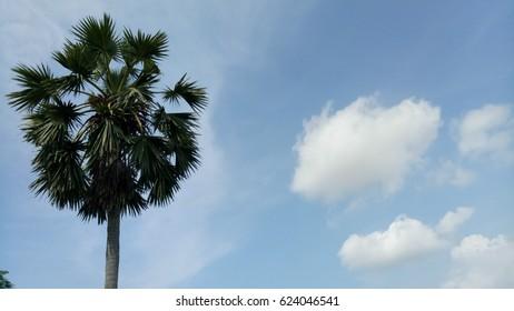 Palm tree with sky