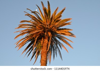 Palm tree at sunset in Camps Bay, South Africa