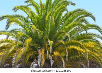 Palm tree treetop with long branches and spiky hard leaves in harsh summer noon light.