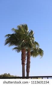 A palm tree in Tuscon, AZ.