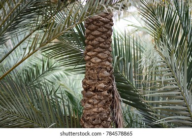 Palm tree in UAE