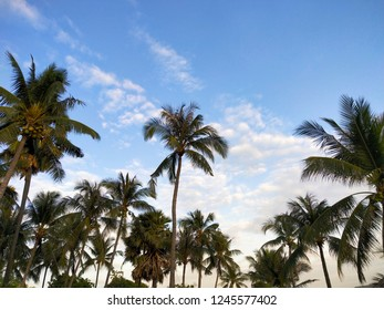 Palm tree under the blue sky with white clound.
