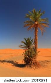 Palm tree under the desert sun, Sahara desert, Morocco