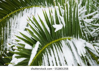 Palm tree under snow in winter