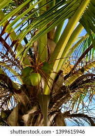 Palm tree vibrant closeup with cocunuts