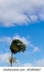 Palm tree in the wind (Australia)