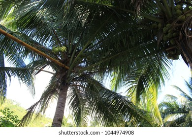 palm trees in the afternoon in the Philippines
