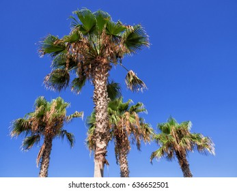 Palm Trees Against Clear Blue Sky, Paphos, Cyprus