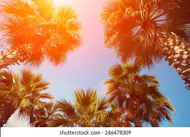 Palm trees against sky at sunset. Tropical nature background. Palm trees bottom view