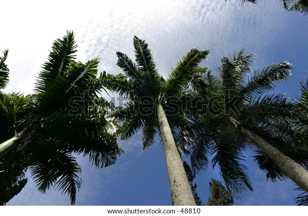 Palm trees from below against a blue sky with light couds in Mauritius