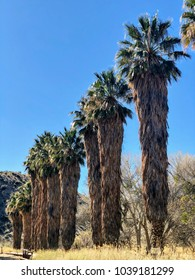 Palm Trees  in Big Morongo Desert Preserve