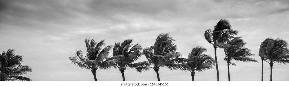 Palm trees are blown by strong winds on the US Gulf Coast, Key West, Florida.