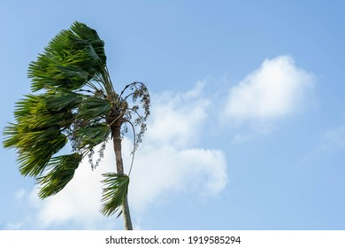 Palm trees are blown by the strong wind during storm or hurricane