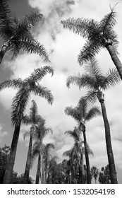 Palm Trees with a Blue Sky. Black and White. Palm Trees sway in the wind with a bright blue sky.