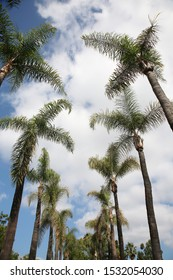 Palm Trees with a Blue Sky. Palm Trees sway in the wind with a bright blue sky.