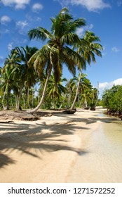 Palm trees of the Caribbean on the beach of Samana