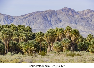 The palm trees at Coachella Valley Preserve