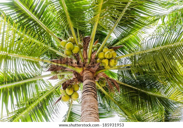Palm trees with coconut on the beach travel  attractions.