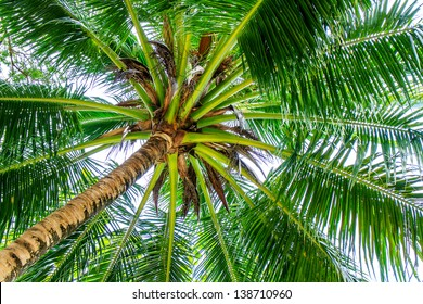 Palm trees with coconut under blue sky.