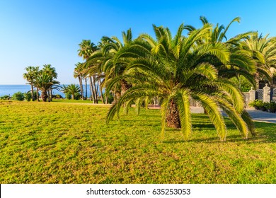 Palm trees in Costa Adeje town park, Tenerife, Canary Islands, Spain
