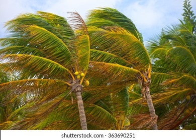 Palm trees during strong storm winds in Florida