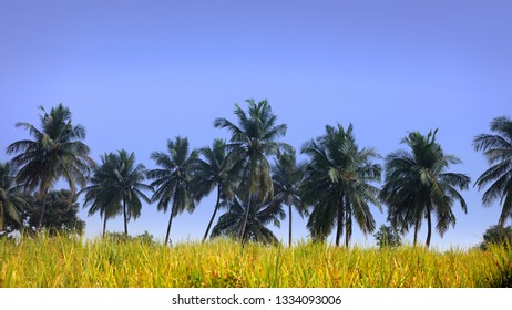 Palm trees in the farm
