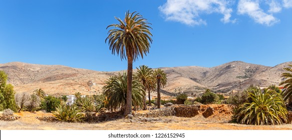 Palm Trees in Fuerteventura, Canary Islands