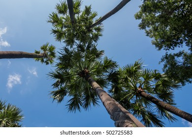 The palm trees from the ground to look to the sky.