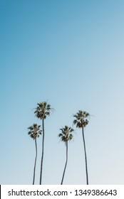 Palm trees at Heisler Park, in Laguna Beach, Orange County, California