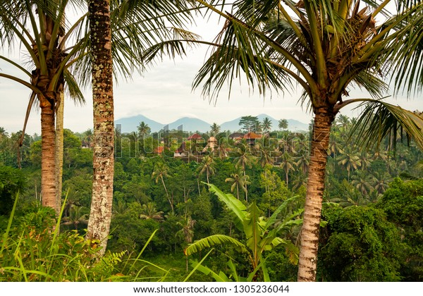 Palm Trees Houses Surrounded By Rice Stock Image Download Now