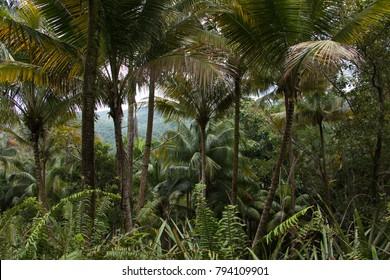 Palm trees in Humboldt Park near Baracoa in Cuba