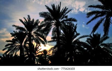 Palm Trees in Iraq
