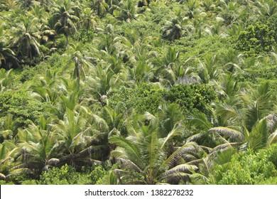 Palm trees at Mahé Island, Seychelles.