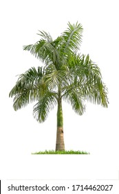 Palm trees Isolated tree on white background , The collection of trees.Large trees are growing in summer, making the trunk big.