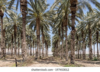 Palm Trees in the Jordan Valley - Israel