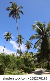 Palm trees at La Digue, Seychelles.