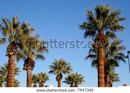 palm trees las vegas stock photo edit now 7947340 shutterstock