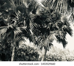 Palm trees with leaves unique black and white photo