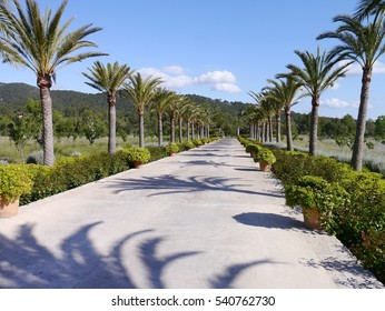 Palm trees in Majorca