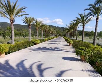 Palm trees in Majorca
