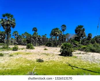 palm trees mannar