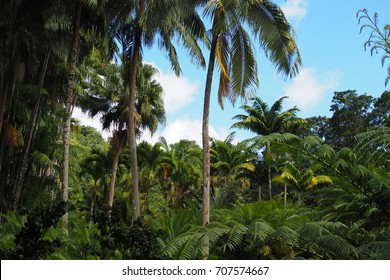 Palm trees of Martinique Island