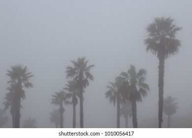 Palm Trees in the Morning Fog