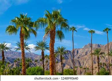 Palm trees with mountain range background in La Quinta, California in the Coachella Valley,
