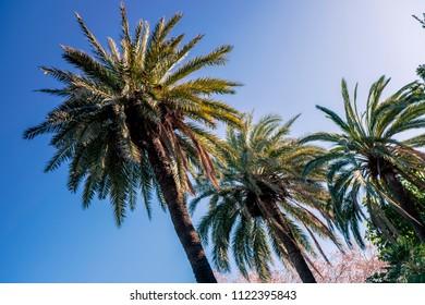 Palm trees on Barceloneta beach. Barcelona, Spain
