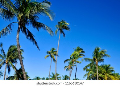 Palm trees on blue sky Miami beach Florida United State