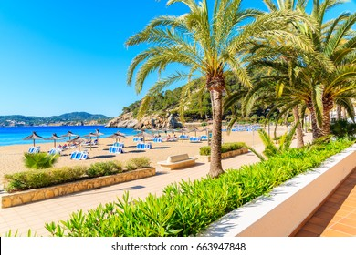 Palm trees on coastal promenade along sandy beach in Cala San Vicente bay on sunny summer day, Ibiza island, Spain